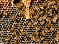 As abelhas vivem em colmeias e desde que nascem já possuem funções específicas na sua sociedade (Foto: Reprodução/Internet)