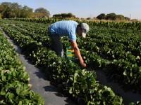 Plantacao-e-colheita-de-Morango-no-Distrito-Federal-foto-Mary-Leal-Agencia-Brasilia201408210006