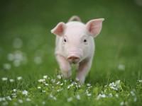 O veganismo defende o fim da exploração animal para comida ou qualquer outro fim (Foto: Mercy For Animals)