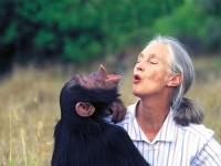 Jane com o chimpanzé Uruhara, em 1996. A cientista é considerada a maior especialista do mundo em chimpazés, estudando-os na área de comportamento animal (Foto: Michael Neugebauer)