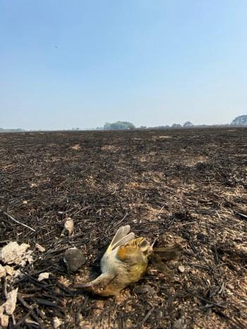 As queimadas colocam em risco a vida de aves, pois elas perdem seus ninhos e fonte de alimento (Foto: Arquivo Pessoal/Viviane Layme)